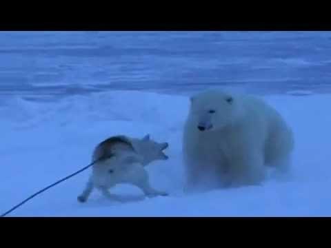 Белый медведь и маламут
