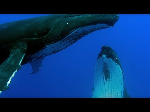 Two Beautiful Humpback Whales Dance | Animal Attraction | BBC