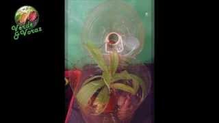 microclima para nepenthes y otras plantas carnívoras
