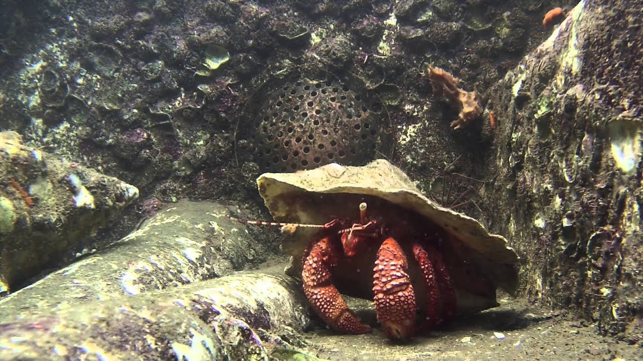 Giant hermit crab