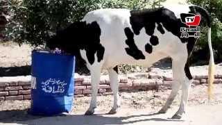 الأبقار تزاحم المواطنين في مصيف جمصة