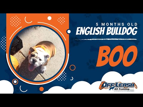 5-Month Old English Bulldog, Boo: English Bulldog Trainers in DC, Va, and MD