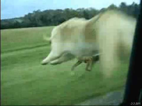 perros - Salta del coche en movimiento