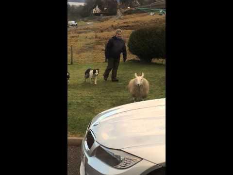 Sheep thinks it's a dog