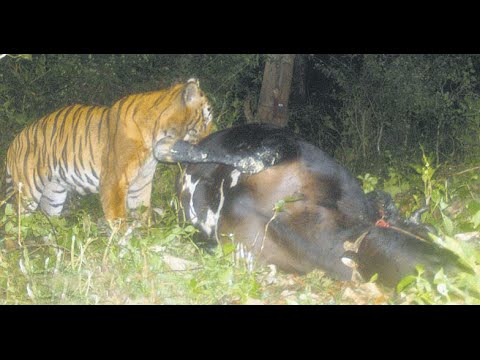 Tiger Attacking Buffalo in Wayanad Caught on Camera | Exclusive Footage | Manorama Online
