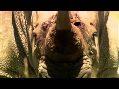Video Dedicated To The Western Black Rhinoceros (Extinct)