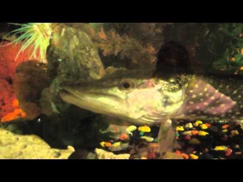 аквариумная щука видео