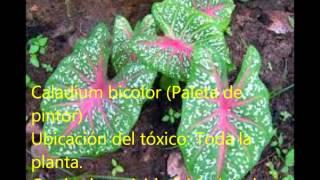 Plantas ornamentales tóxicas