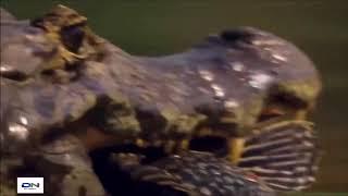 Fighting with giant crocodiles