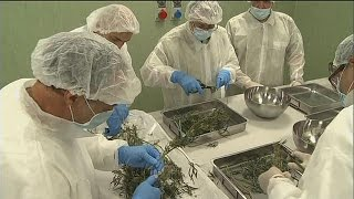 La cannabis terapeutica in Italia - science