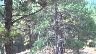 2012 Eastern Montana Elk Hunt 320 Bull