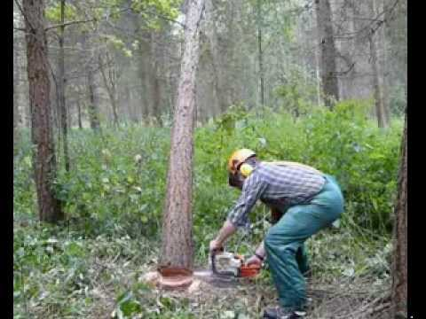 How to deal with a hung-up tree when felling trees up to 380mm. Part1, follow with part 2.
