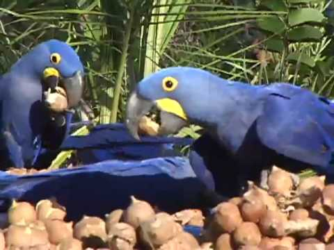 Hyacinth Macaws feeding in Brazil Video