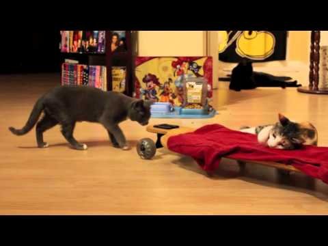Cats Cats Cats!! Video of Cats and kittens and their Skateboard & Toys