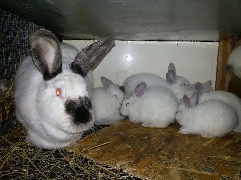 Результат кукушкования крольчат