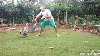 Sparring com o meu Peru (Kung fu Fighter vs Turkey- cock)!
