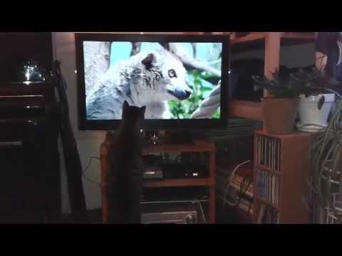 Réglisse aime beaucoup regarder les programmes animaliers à la télé