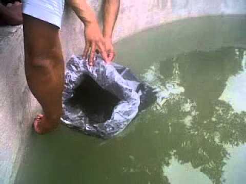 Siembra de alevines en estanque el porvenir c rdoba youtube for Densidad de siembra de tilapia