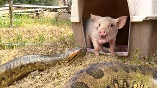Anaconda Enters Pig Pen--Eats Pig (Extended, Time Lapse x5)