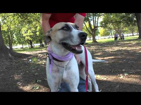 Gus Has Now Been Adopted - Bull Arab X - Hunter Animal Rescue - Har video