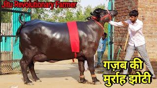 👍FOR SALE: 5 Star Murrah Available for Buyers☝️@ #Maman Sir's Dairy Farm @Jhajjhar, Haryana.👍