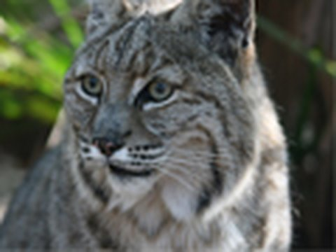 BOBCAT HIT BY CAR! - Big Cat TV Video