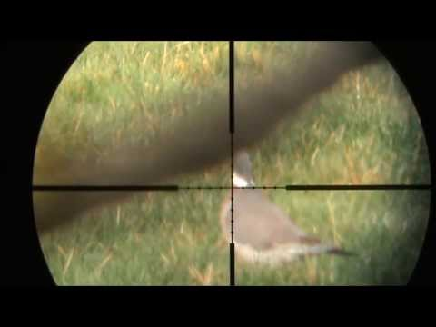 Air Rifle Hunting - Pigeons with Hatsan at44-10