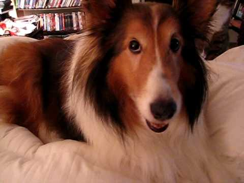 Cute Sheltie Afraid of Jaws Theme