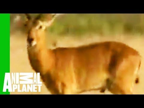 Snake Regurgitates Antelope video