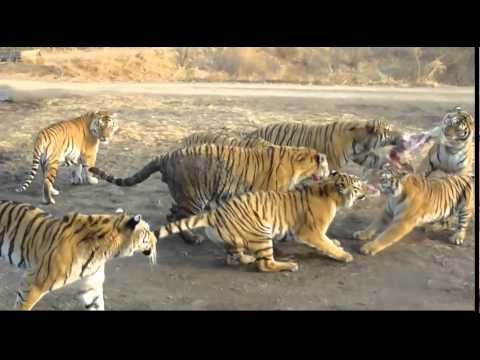 Tigers Eat Goat Tigers Eating a Goat in China
