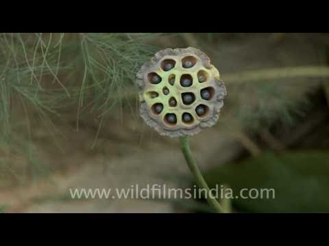 Lotus seed pods - not for trypophobics!