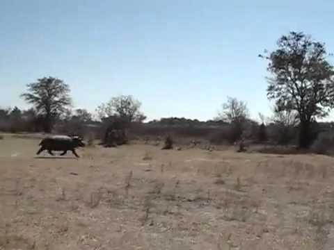 Hippo charges truck on safari