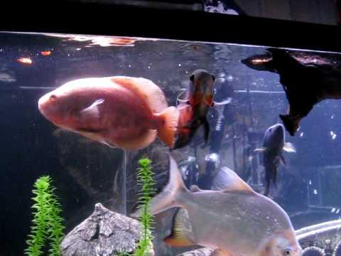 Fish eating: Pacu, oscars, jack dempsey, leporinus tetra