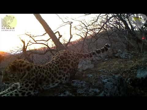 Леопард впервые «спел» на камеру заповедника \ Amur leopard song