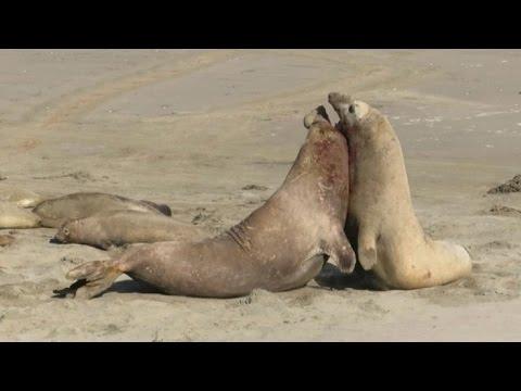 Combate de leones marinos