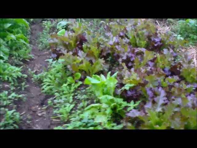 How to Grow Lettuce Mixed Salad Companion Planting