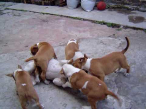 Terrible ataque de 7 Bull Terrier contra 1 Bull Dog Frances!!!!