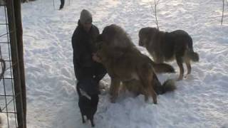sarplaninac,vuk,doberman i macak WOLF DOG AND CAT