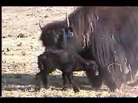 Newborn Tibetan Yak Calf