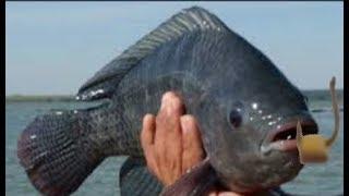 Pescaria de tilápia na isca de casca fio de cobre