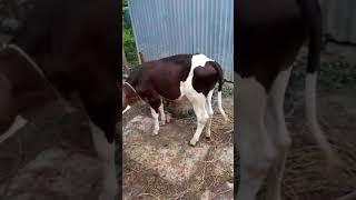 Calf Health Checking