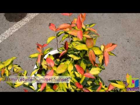 Trachelospermum for Plantes grimpantes