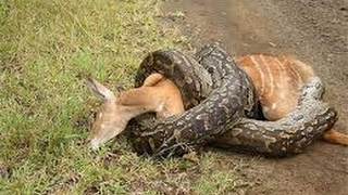 Python Snake Kill and Swallow Deer