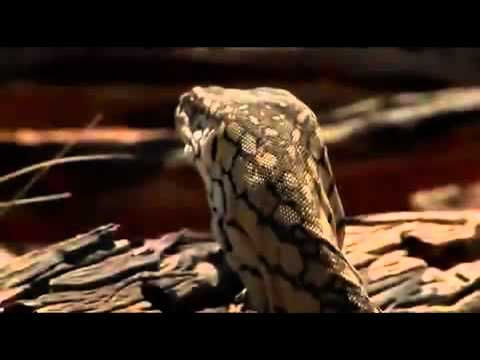 Monitor Lizard Documentary Part 2