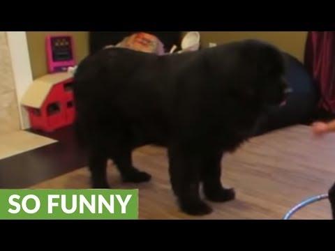 Toddler Tries Teaching Dog To Hula Hoop video