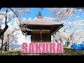 Lagu Japan's Cherry Blossoms  Sakura & Hanami