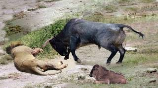 Unbelievable Mother Wildebeest Use Their Bodies To Save Her Newborn From Lion, Lion Hunting Fail