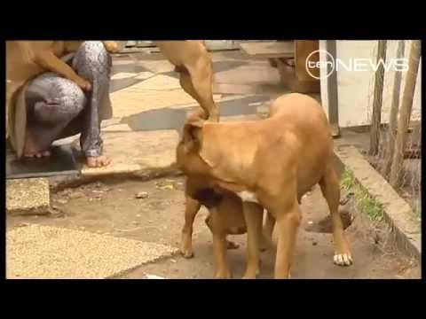 Pit Bull breed crack down in Victoria, Australia