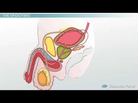 Male Reproductive System: Functions, Organs and Anatomy