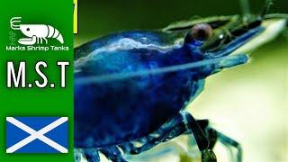 Dream Blue Velvet Aquarium Shrimp Tank Update